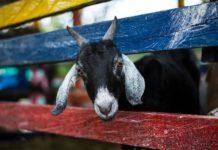 Goat Farm Project Report.