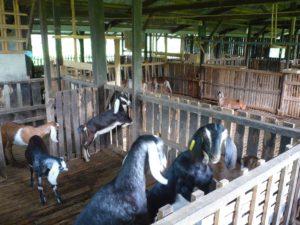 Goat Housing