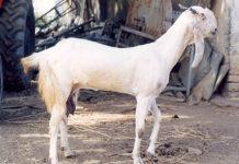 Jamunapari Dairy Goat.