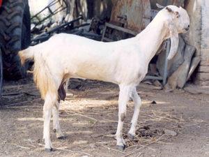 Jamunapari Dairy Goat