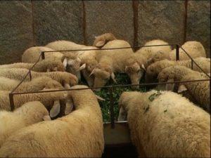 Karnataka sheep farm