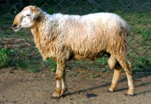 Malpura Sheep.