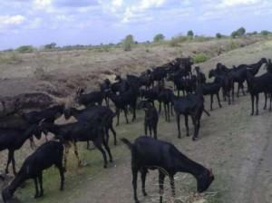 Pureline Osmanabadi goats