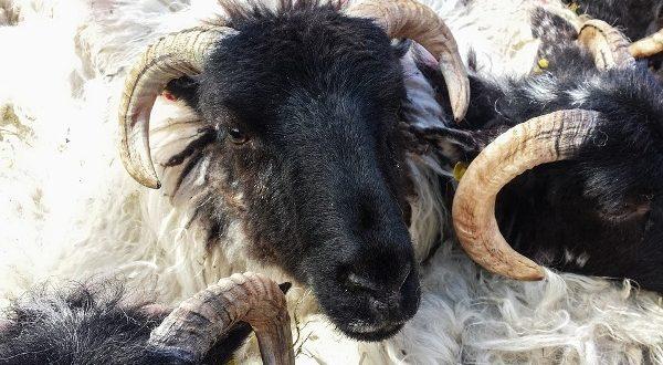 Sheep Buying Tips.