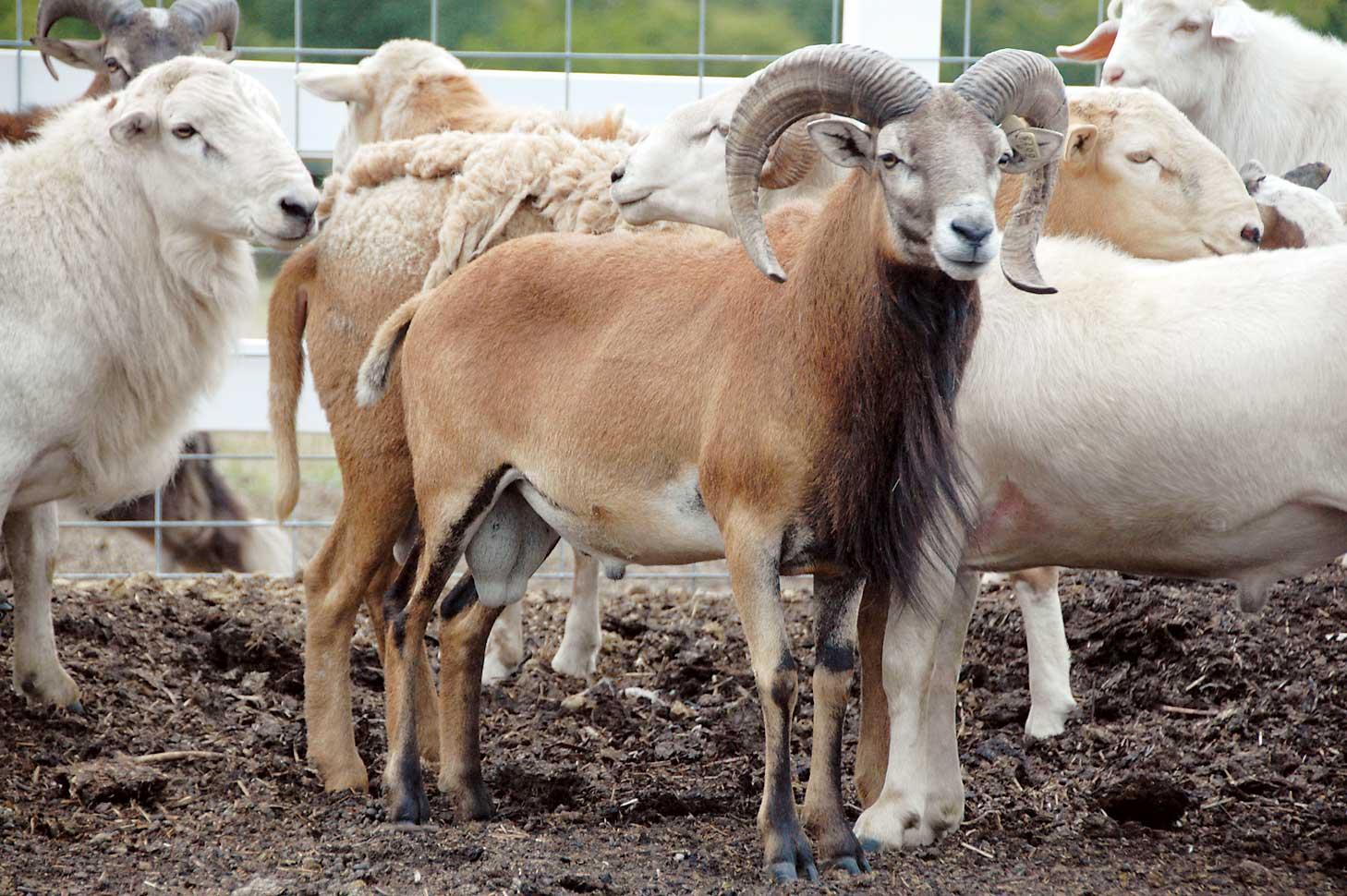 Indian Sheep Info Guide For Beginners Sheep Farming