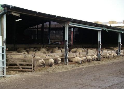 Goat sheep farming basics for profits sheep farm for Farm shed ideas