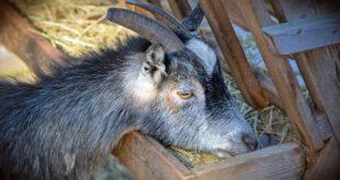 Stall Fed Goat Farming in Karnataka.
