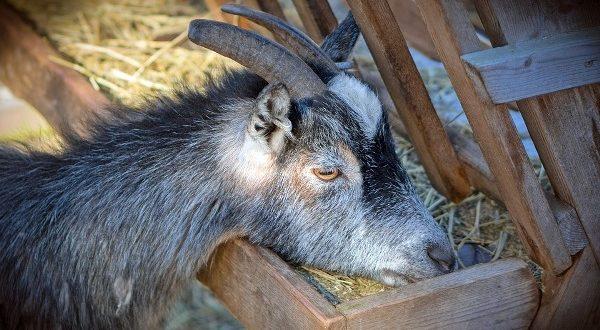 Stall Fed Goat Farming in Karnataka | Sheep Farm