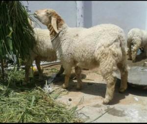 bannur sheep