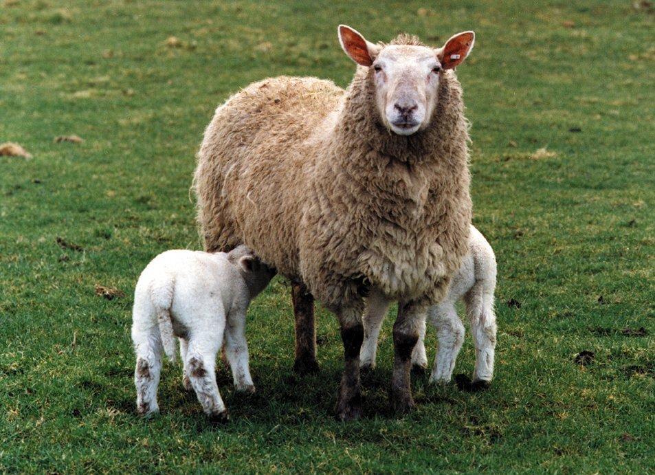 Feeding Ewes.