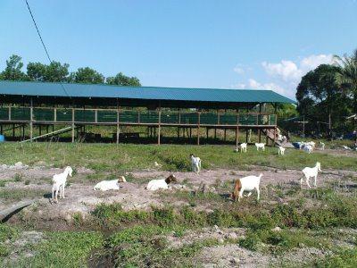 Goat Sheds.