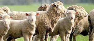 Kashmir sheep