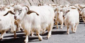 kashmiri sheep
