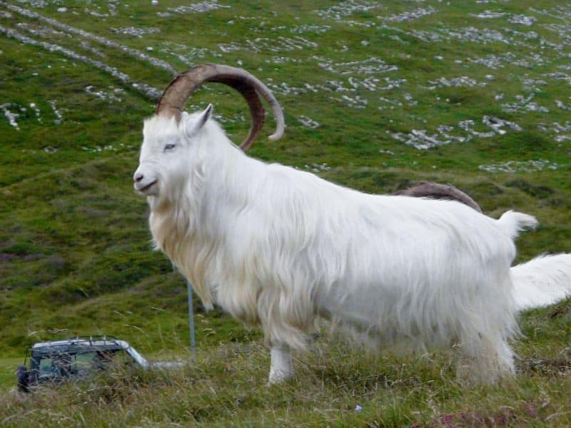 Meat Goat Breeds Information Sheep Farming
