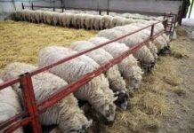 Sheep Farming Training.