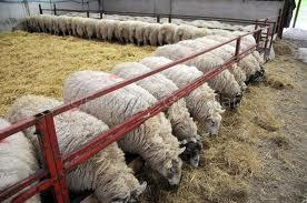 sheep farming training