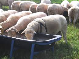sheep fattening