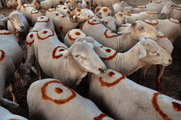 Sheep Project Loan.
