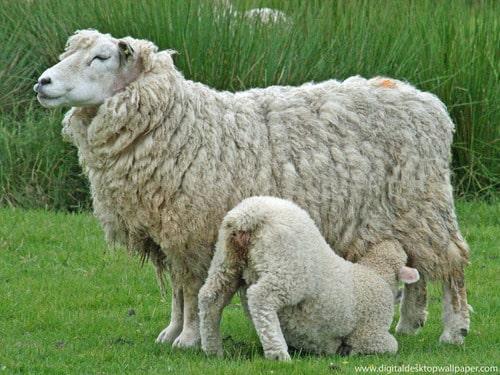 sheep rearing.