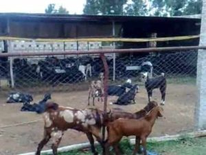 stall fed goat farming