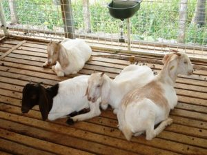 goat farming in karnataka