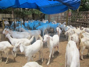 Tellicherry goats.
