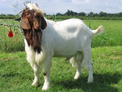 Well build Boer Goat - Male.