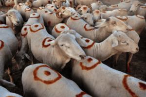 Sheep farming tips