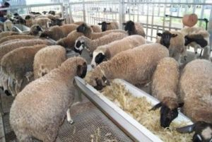 Sheep Rearing Process