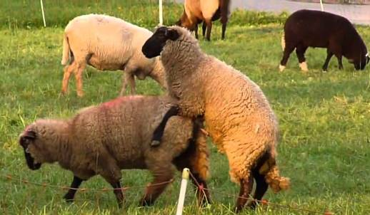 Sheep Breeding Management.