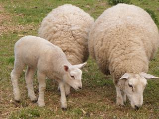 Exotic Sheep Breeds.