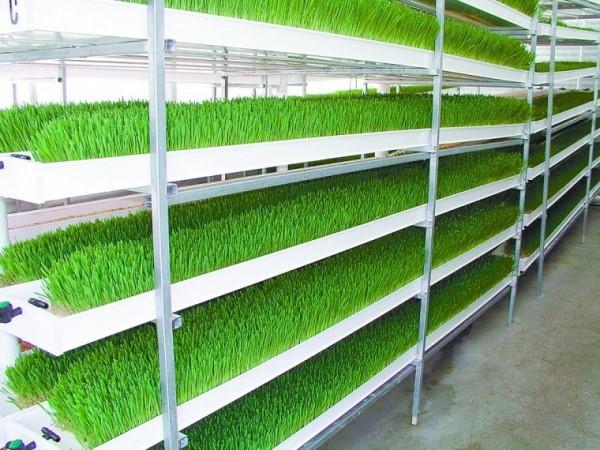 Hydroponic Green Fodder For Sheep Sheepfarm In