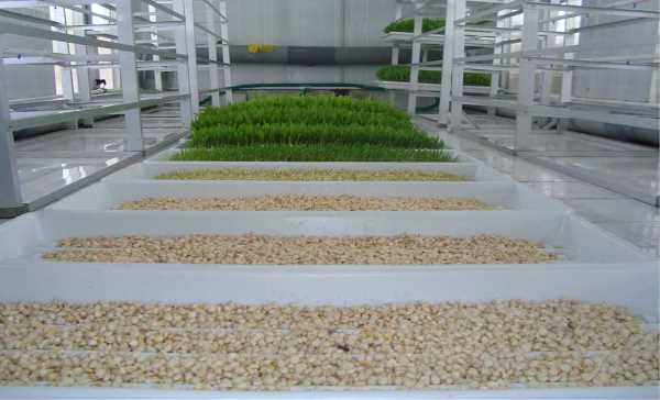 Hydroponic System For Sheep Fodder.