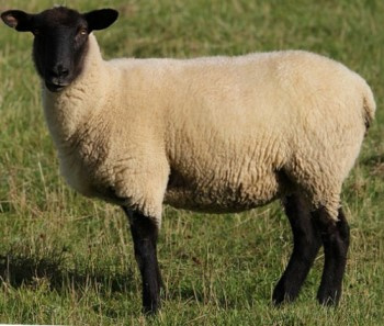 Suffolk Sheep.