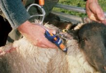 Sheep Vaccination Tips.