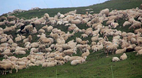 Sheep Farming Importance.