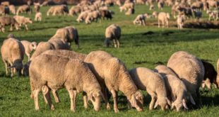 Sheep Farming Basics.