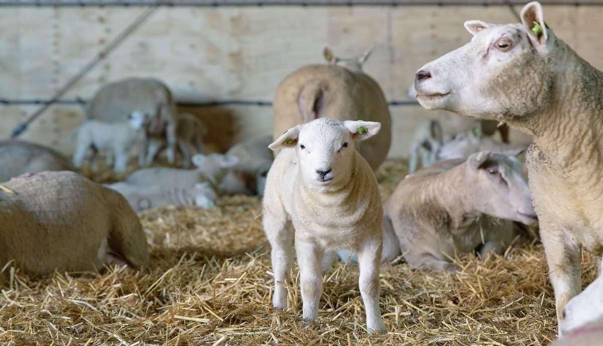 Sheep Farm Care.