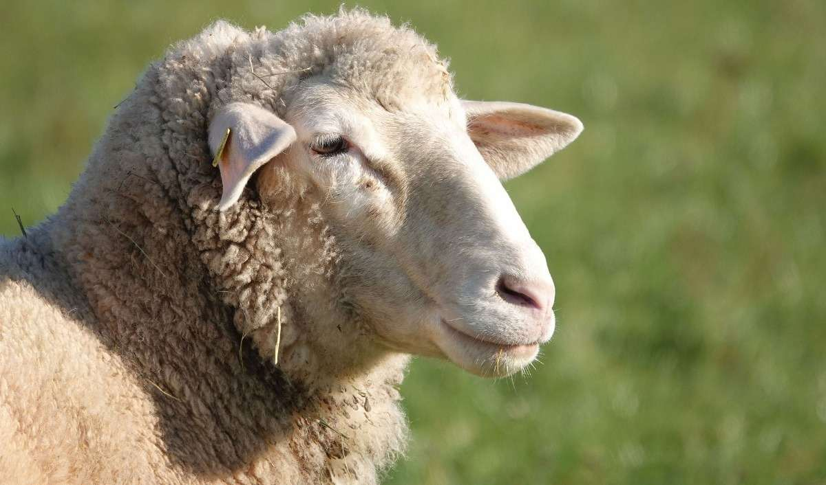 Tips for Profits in Sheep Farming.